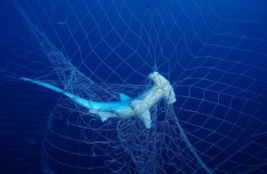hammer shark entangled from ocean waste